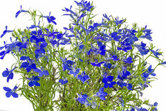 Blue lobelia (Lobelia erinus) Stock Photo
