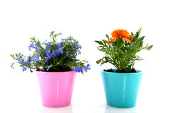 Blue Lobelia and orange Tagetes Stock Photo