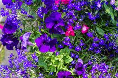 Blue lobelia, violet petunia and pink busy lizzy, floral background. Blue lobelia, violet petunia and pink busy lizzy, dark blue floral background stock photo