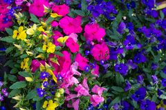 Blue lobelia, violet petunia and pink busy Lizzy, floral background. Blue lobelia, violet petunia and pink busy Lizzy, colorful floral background stock photography
