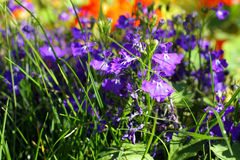 Blue lobelias in the garden, close up Royalty Free Stock Image