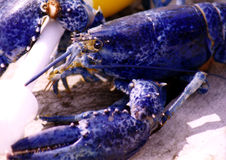 Blue Lobster. Coast of Maine.  Rare Stock Photos