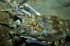 Blue lobster  face Stock Photo