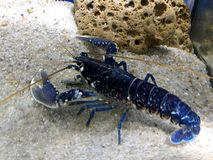 Blue Lobster royalty free stock images