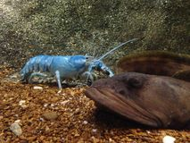 Blue lobster in water tank at an aquarium Royalty Free Stock Images