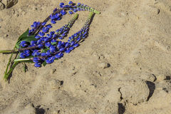Blue long flowers lupines on the sand Stock Image