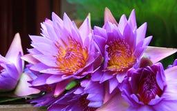 Blue Lotus. In putuo, zhoushan, zhejiang Stock Photo