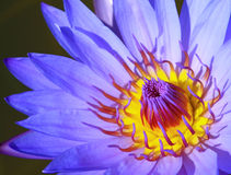 Blue lotus Royalty Free Stock Image