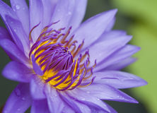 Blue lotus Stock Photography
