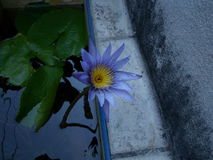 Blue lotus. Alone in water pot Royalty Free Stock Images