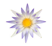 Blue lotus or Blue water lily isolated. On white background Royalty Free Stock Photos