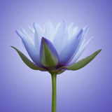 Blue lotus. Close up of blue lotus Stock Photography