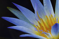 Blue Lotus of Egypt (Nymphaea Caerulea) Royalty Free Stock Photo
