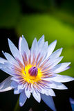 Blue Lotus flower in bloom Stock Photo