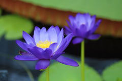 Blue Lotus Flower Stock Photo