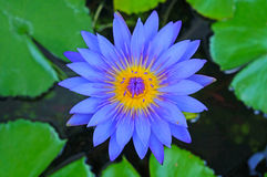The blue lotus Royalty Free Stock Photo