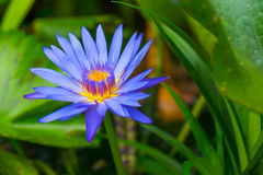 Blue lotus flower Royalty Free Stock Image