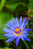 Blue lotus flower Royalty Free Stock Photo