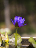 Blue lotus. Flower in day light Royalty Free Stock Image