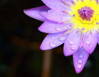 Blue lotus flower in garden. Insummer season Stock Images