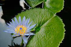 Blue lotus flower (water lilly) with soft focus. Beautiful blue lotus flower (water lilly) with soft focus Royalty Free Stock Photos