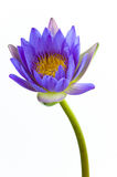 Blue lotus flower and white background. The lotus is national flower for Thailand,India,Kampuchea and Bengal. Lotus flower in Asia is a important culture Royalty Free Stock Photos