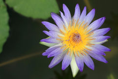 Blue Lotus Flowers Royalty Free Stock Image