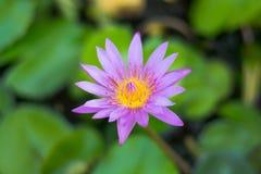 Blue Lotus Flowers Stock Image