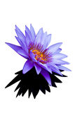 Blue lotus flowers Royalty Free Stock Image