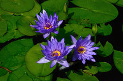 Blue lotus and four bee inside Royalty Free Stock Photos