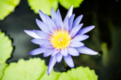 Blue lotus. In the lake Stock Image