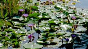 Blue Lotus In The Lake