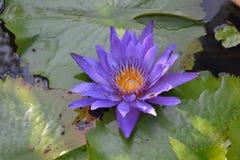 Blue lotus Stock Photo