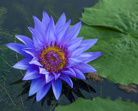 Blue lotus petals and purple pollen. And green leave Royalty Free Stock Images