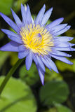 Blue lotus petals and purple pollen and green leave. Blue lotus pond with white petals, yellow stamens stumble eyes Royalty Free Stock Photography