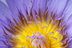 Blue Lotus pollen Stock Photos