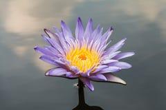 Blue lotus on the pond Stock Photos