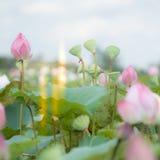 Blue lotus Stock Images