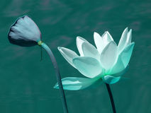 Blue Lotus. Lotus on pond with a bud, teal blue Stock Images