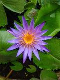 Blue lotus on the pond, Blue lotus with green leaves in the pond stock photography