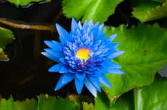 Blue lotus on the pond Stock Images