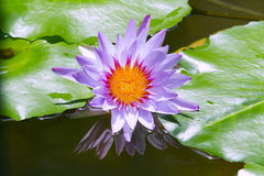 Blue lotus on the pond Royalty Free Stock Images