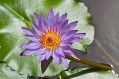 Blue lotus on the pond Stock Photography