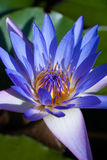 Blue lotus or Purple water lilies Stock Photography