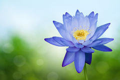 Blue lotus. On spring background Royalty Free Stock Photo
