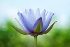 Blue lotus Stock Photos