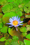 Blue lotus in water Royalty Free Stock Images