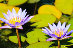Blue Lotus Water Lillies Nymphaea nouchali. Nymphaea nouchali, often known by its synonym Nymphaea stellata, or by common names blue lotus, star lotus, red and Royalty Free Stock Photography