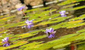 Blue Lotus Water Lillies Nymphaea nouchali. Nymphaea nouchali, often known by its synonym Nymphaea stellata, or by common names blue lotus, star lotus, red and Stock Images