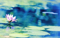 Blue Lotus Water Lily Nymphaea nouchali. Nymphaea nouchali, often known by its synonym Nymphaea stellata, or by common names blue lotus, star lotus, red and blue Stock Image